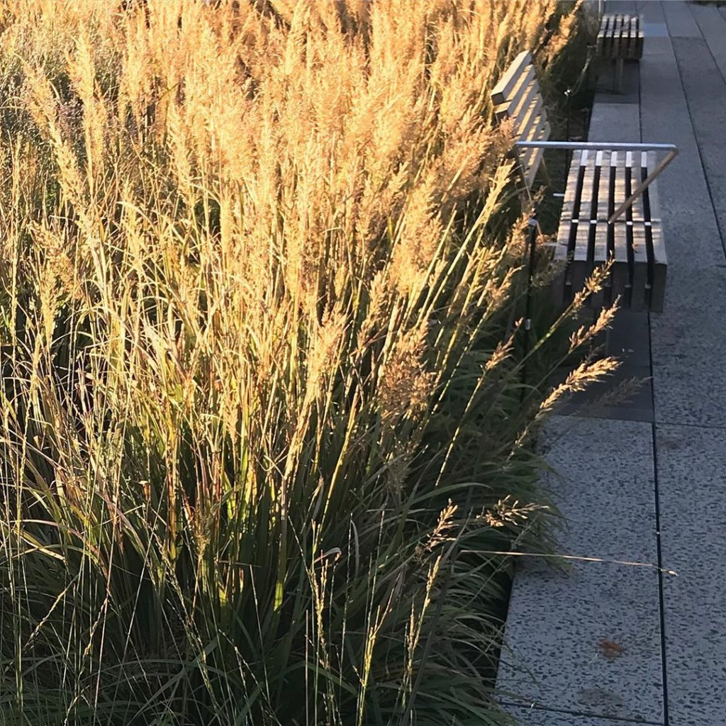 Field of gold @highlinenyc #pietoudolf #morninglight #calamagrostisbrachytricha ...