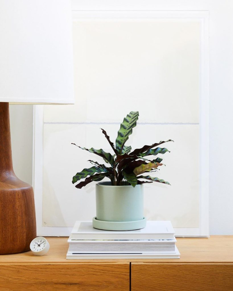 The Rattlesnake Plant's reptilian-like leaves are dotted deep green and have a p...
