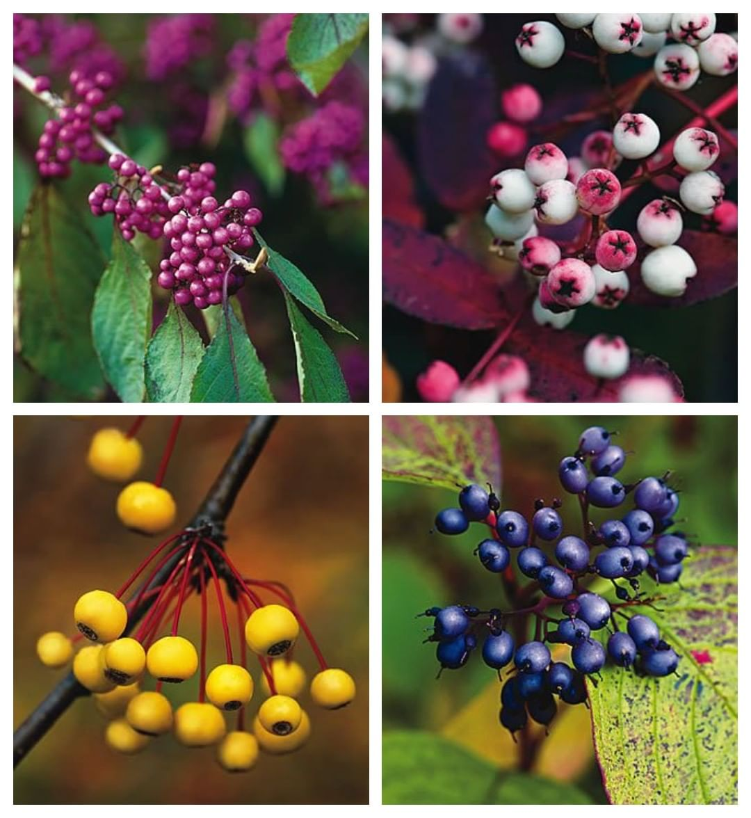 Gardendesignmag What Berry Bearing Trees And Shrubs Do You Have
