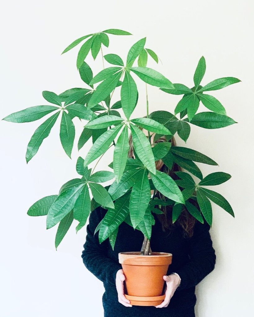 """What started as a 4"""" baby plant grew into the most amazing money tree.  Photo by..."""