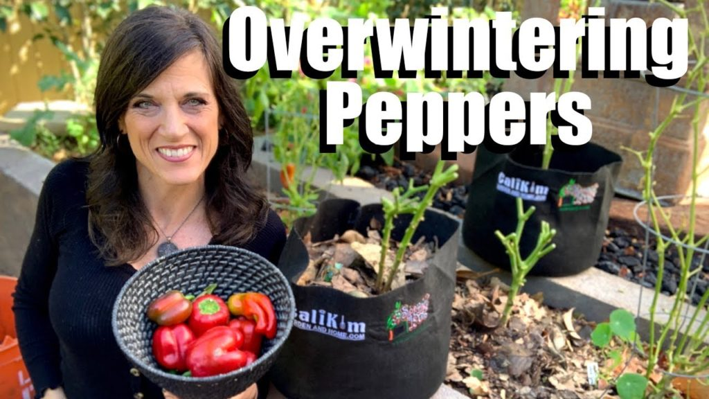 How to Overwinter Your Favorite Pepper Plant in Garden Beds & Containers for Earlier Spring Harvests