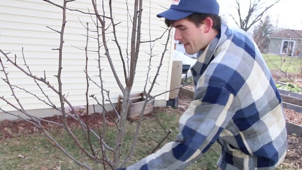 How to Prune Pear Trees That Have Become Too Overgrown