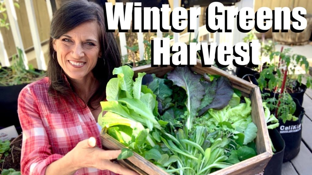 Harvesting Winter Greens from the Garden Grocery Store 🌿❄️🌿