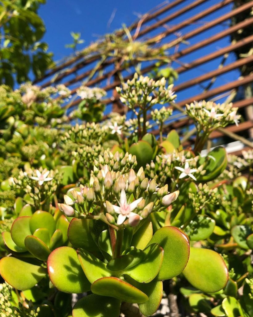 """Let it snow jade blooms in SoCal!  Momma jade is now 6' 5""""  #crassulaovata #frie..."""