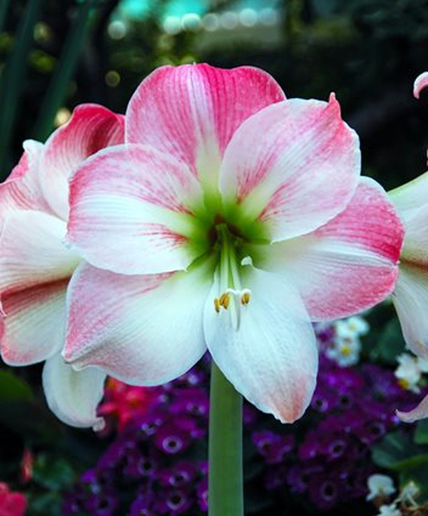 Do you have amaryllis brightening up your home? . Pictured: Apple Blossom blooms...