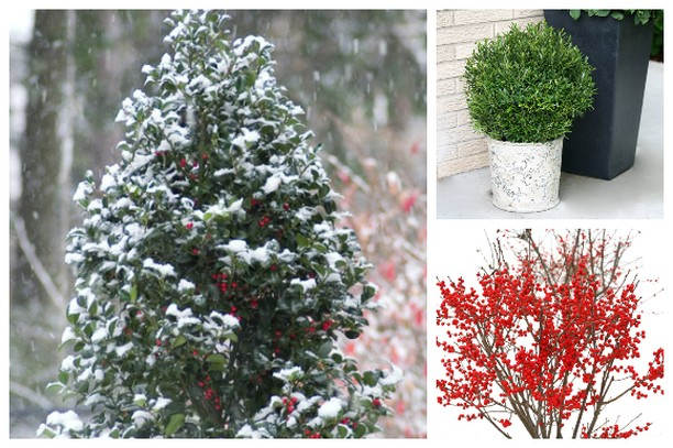 Do you have holly in your garden? . Though hollies provide four-season interest ...