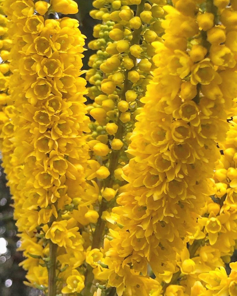 Mahonia lomarifolia : Strongly #architectural & #flowering : like this : #now...