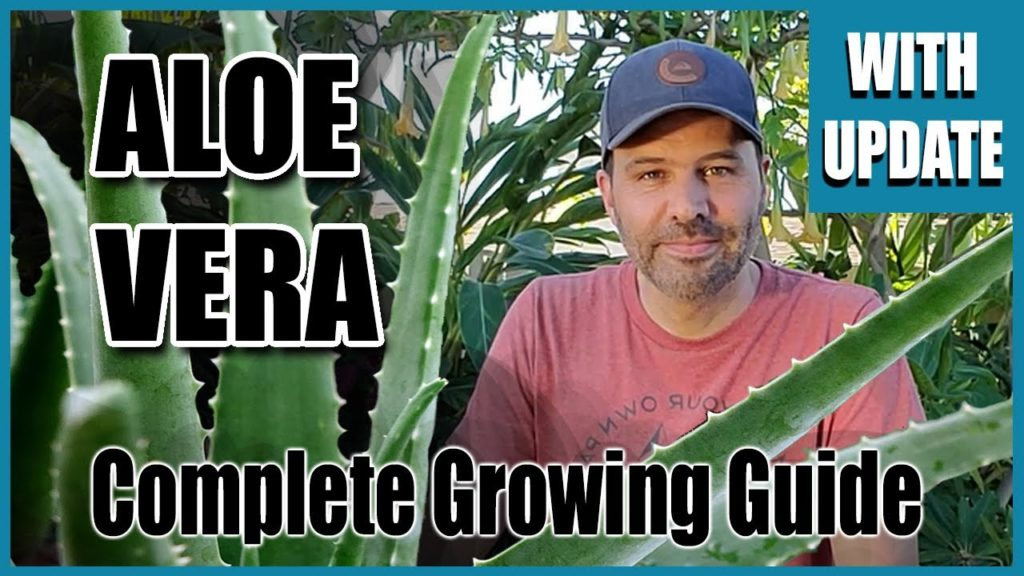 Aloe Vera, Complete Growing Guide - With 3 Month Update