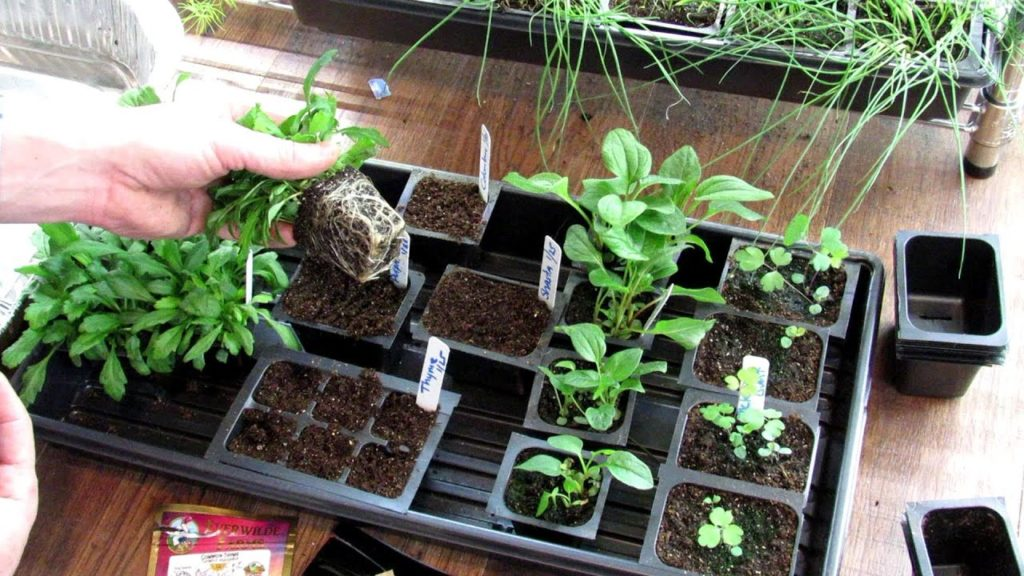 How to Seed Start Perennials Indoor & Save A Lot of Money: Daisies, Coneflower, Columbine & Thyme