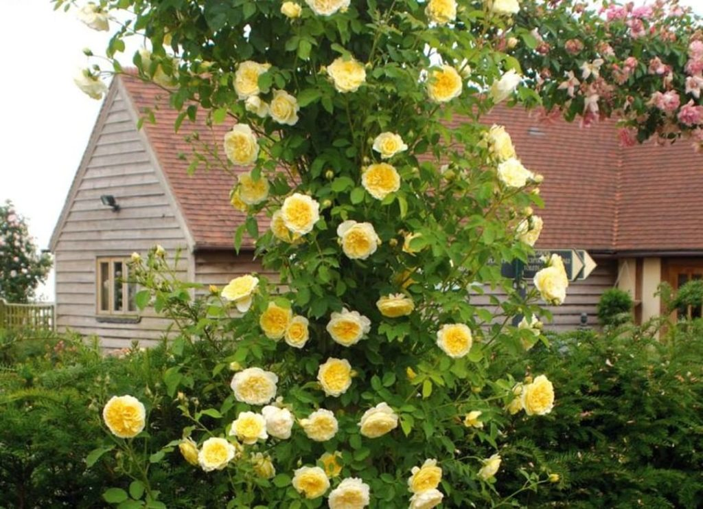 Want beautiful roses in your garden? Now's the time to plant bare-root roses in ...