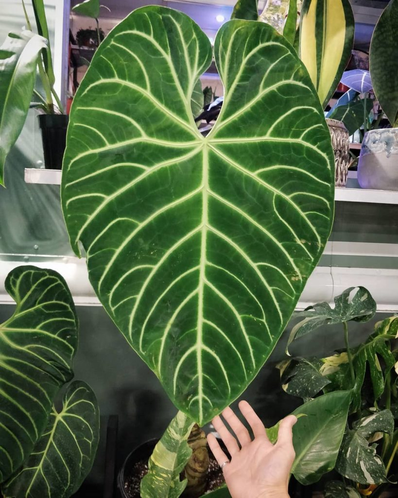 Where can you find 4 unicorn plants in one place? Tropical Plant International E...