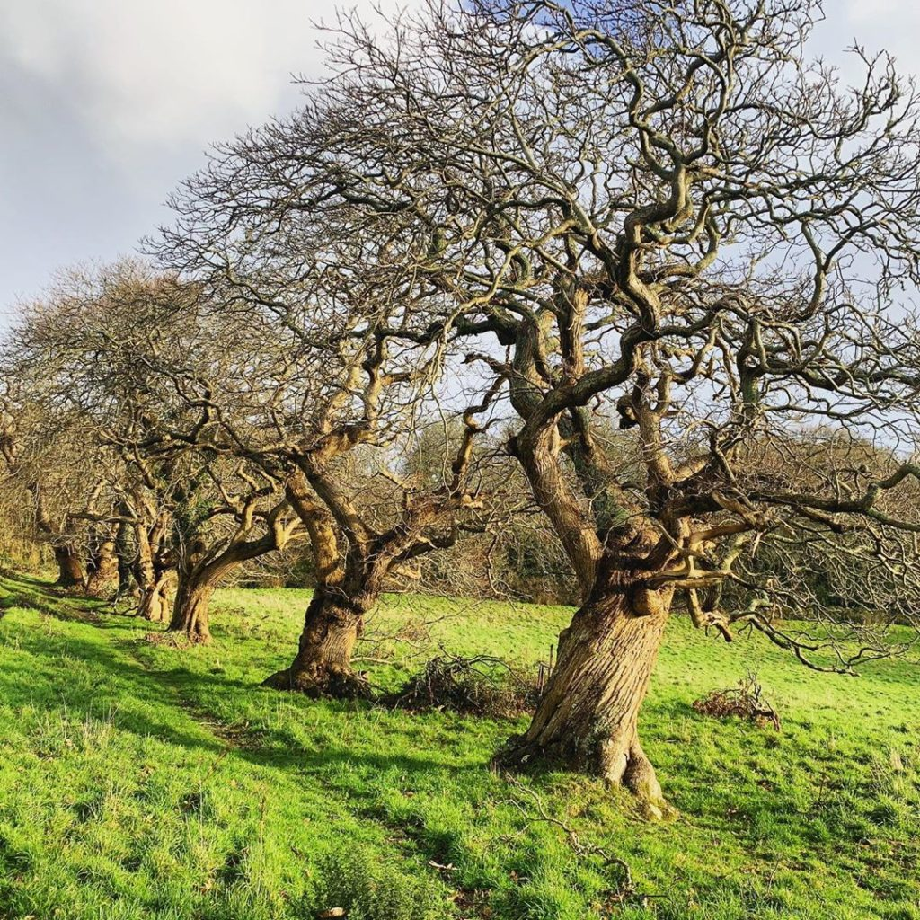 Spectacular Sweet Chestnut trees standing naked in bright winter sunshine. #swee...