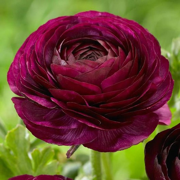So stunning! Will you be planting ranunculus in your garden? . Wait to plant the...