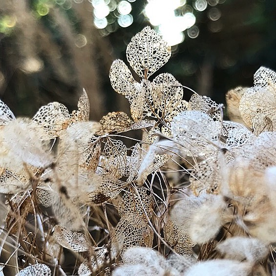 Bare bones... #hydrangeaannabelle in its winter skeletal form just as beautiful ...