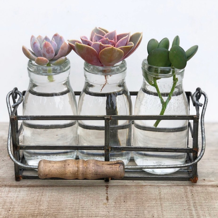 Did you know you can grow roots for cuttings by water? Simply put the calloused ...