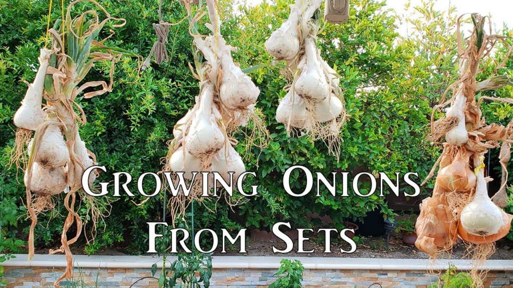 Growing Onion From Sets - How To Grow Great Onions!