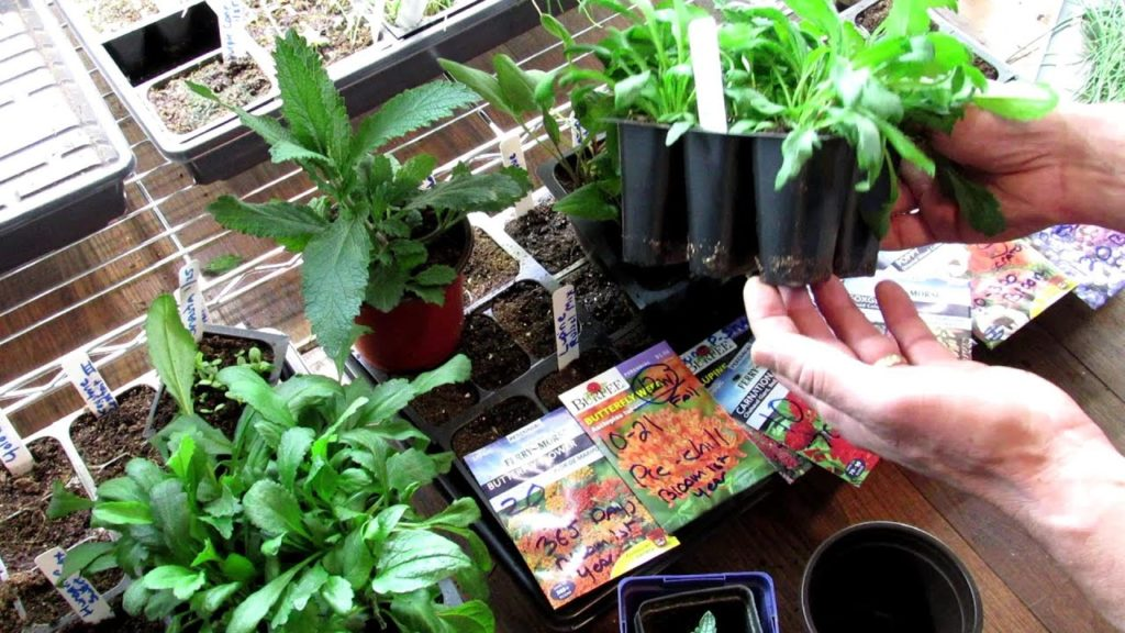 Seed Starting Perennials Indoors: All the Details,Start Early, Grow Roots, Over-Seed & Divide