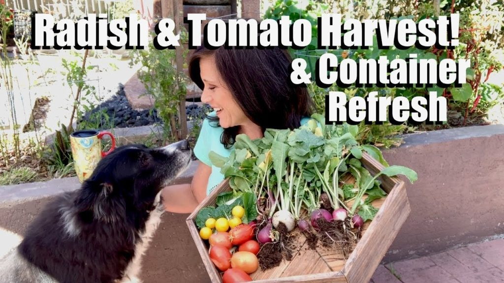 Radish & Tomato Harvest, How to Refresh Container Potting Mix & Plant Radish Seeds