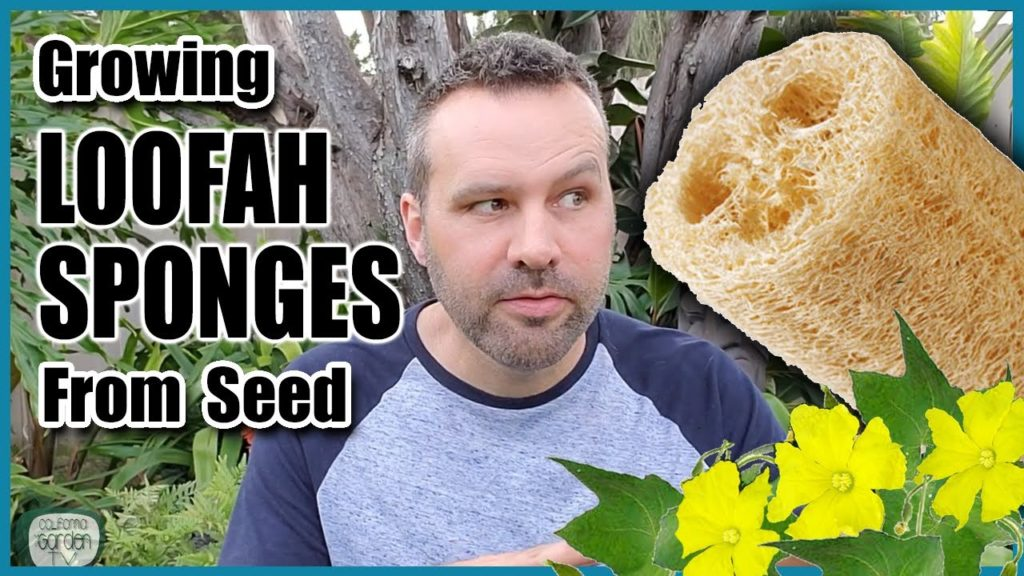 How to Grow Luffa / Loofah Sponges From Seed!