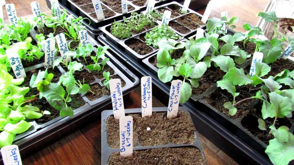 Indoor Seed Starting Tips for Cool Weather Crops: Planting Methods, When to Start & Thin Them & Tips
