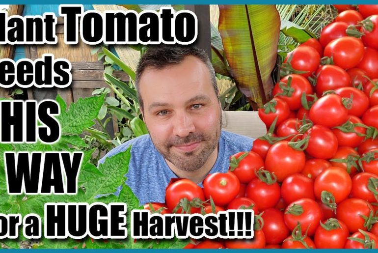 How to Plant Tomato Seeds for a Huge Harvest!
