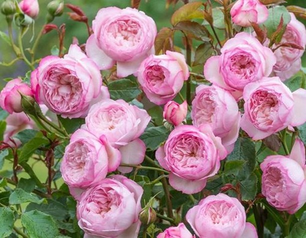 Will you be planting bare-root roses? . Planting now, before roses break dormanc...