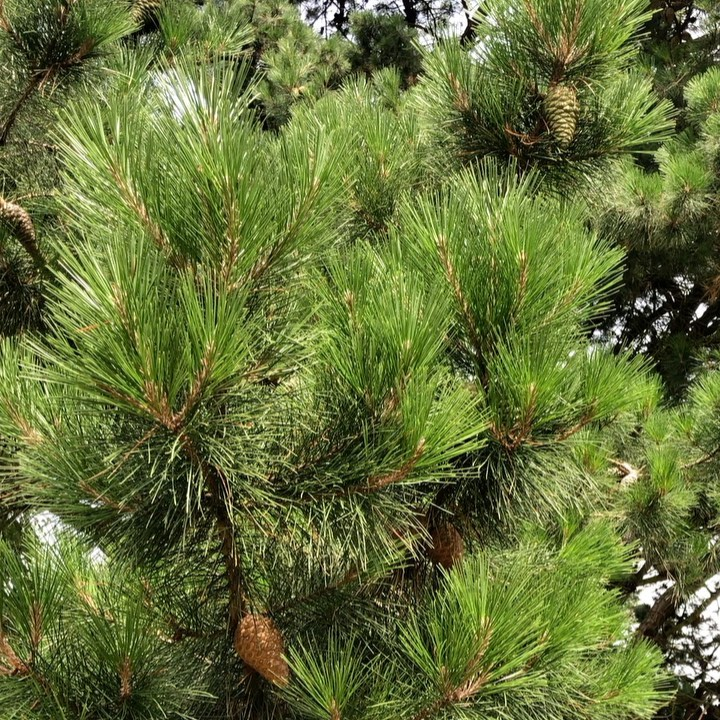Getting into Pine trees at the moment... Can anyone confirm if this is a Pinus n...