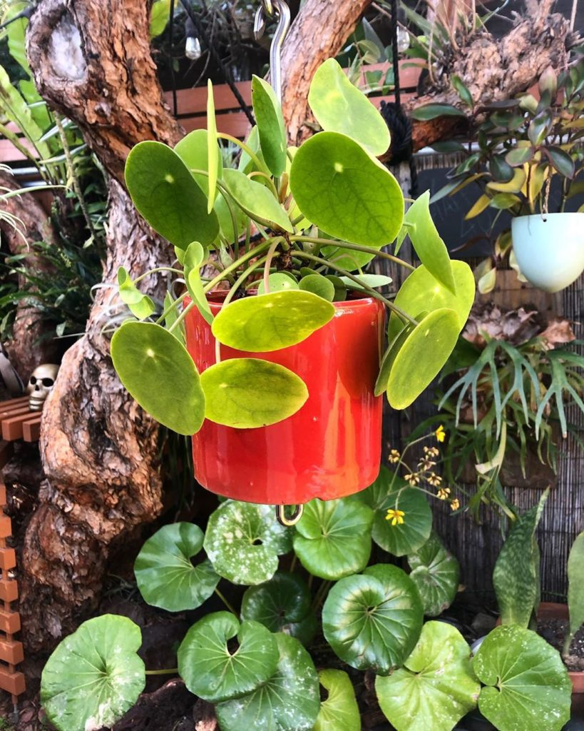 Pilea — hanging in front of its doppelgänger, Farfugium japonica  Two favorites ...