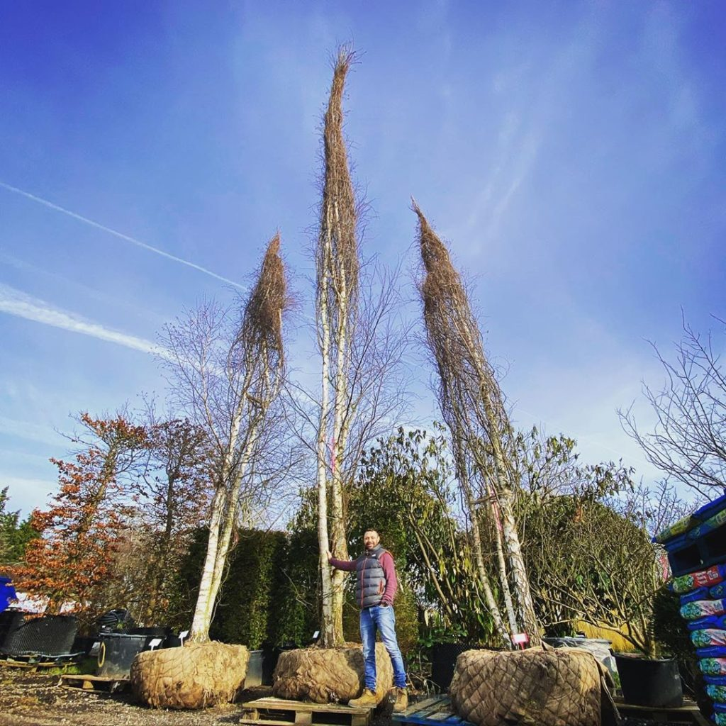 Stunning multi-stem silver birch trees for the @yeovalley garden @hortusloci In ...