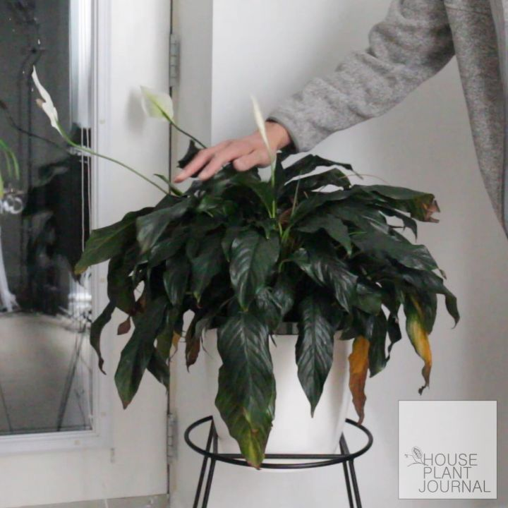 Peace Lily rehydration time lapse: first one done in my new place. ~ ~ #peacelil...