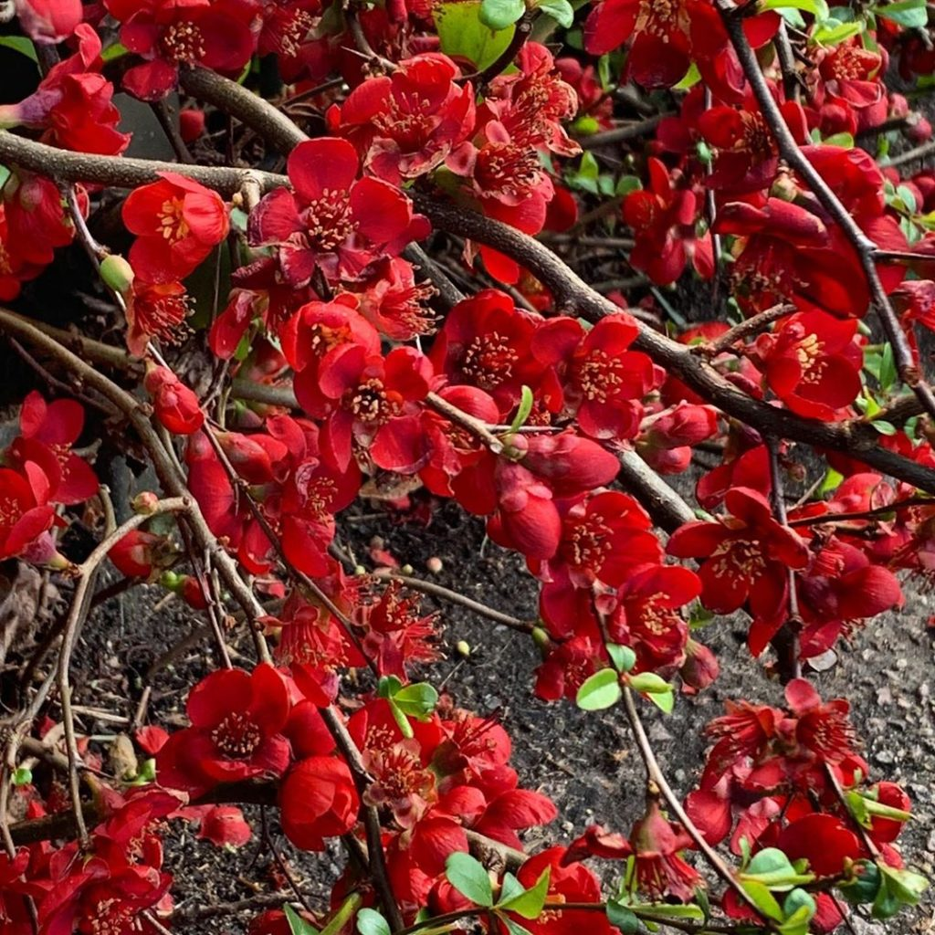 An absolutely glorious Chaenomeles lighting up a chilly day #chaenomeles #garden...