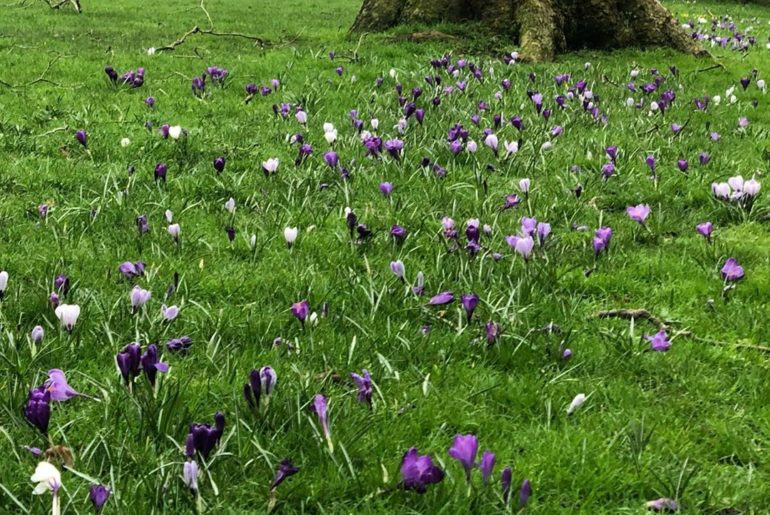 Plucky little Croci (I think that's the plural of Crocus!) coping well with the ...