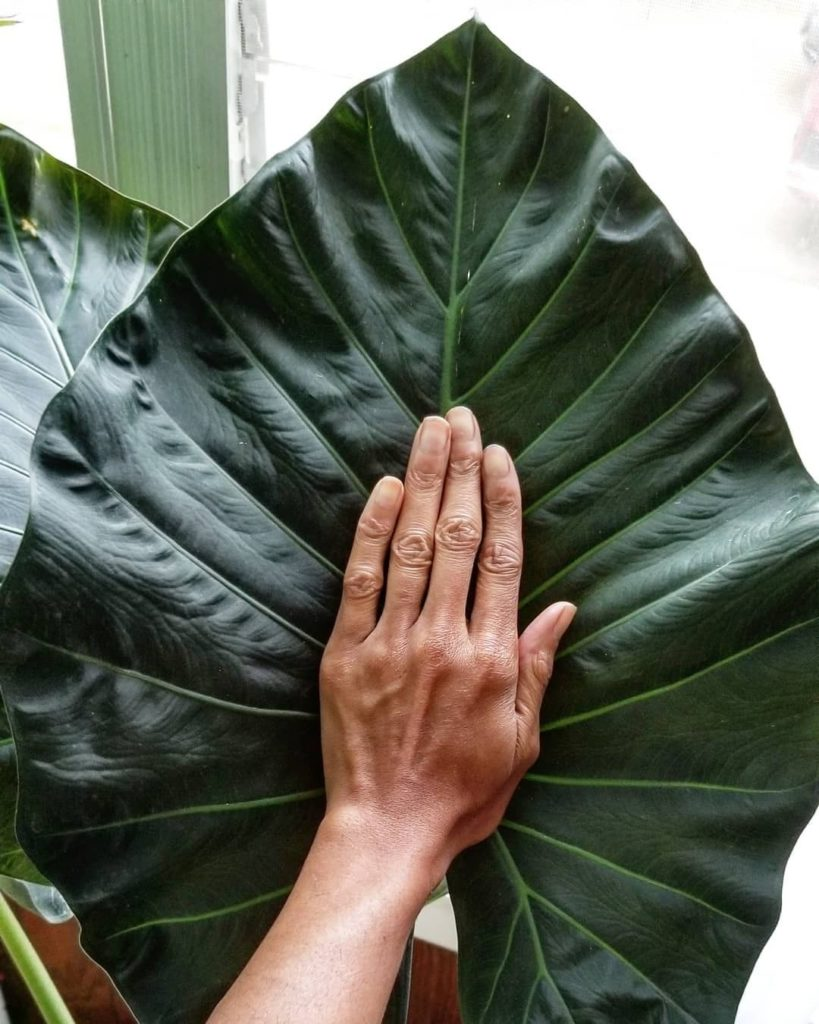 Putting your palm against an Alocasia Regal Shield is like comparing hand sizes ...