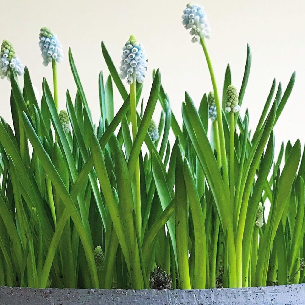 Springing up love these delicate little #muscari 'aqua magic' #forcedbulbs #home...