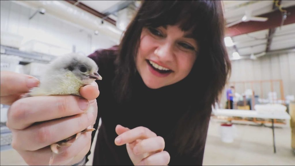 70,000 Baby Chicks (Baby Chips) | Murray McMurray Hatchery