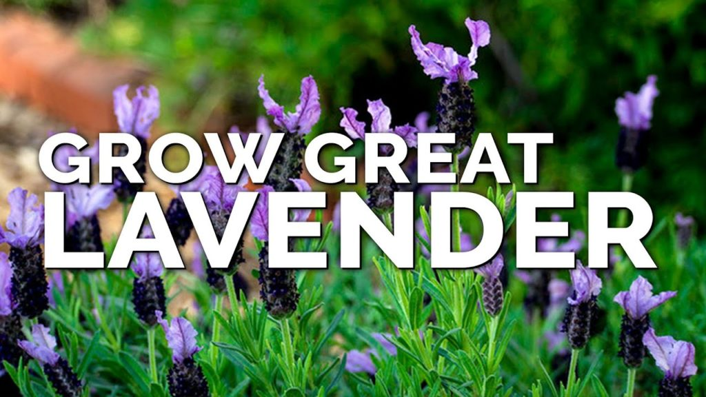 5 Tips to Growing Lavender Perfectly No Matter Where You Live