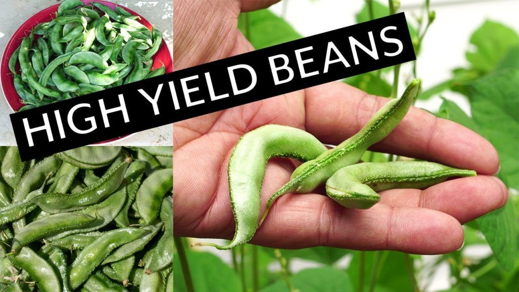 High Yield Beans - Growing Lalblab Purpureus Beans + Recipe!