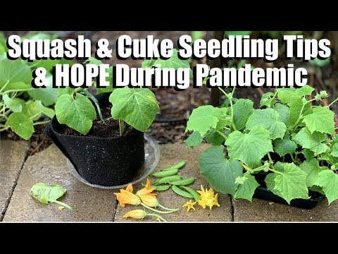 Squash, Cucumber Seedling Tips(Aphids, Flowers)-Finding Hope During Pandemic/Spring Garden Series #6
