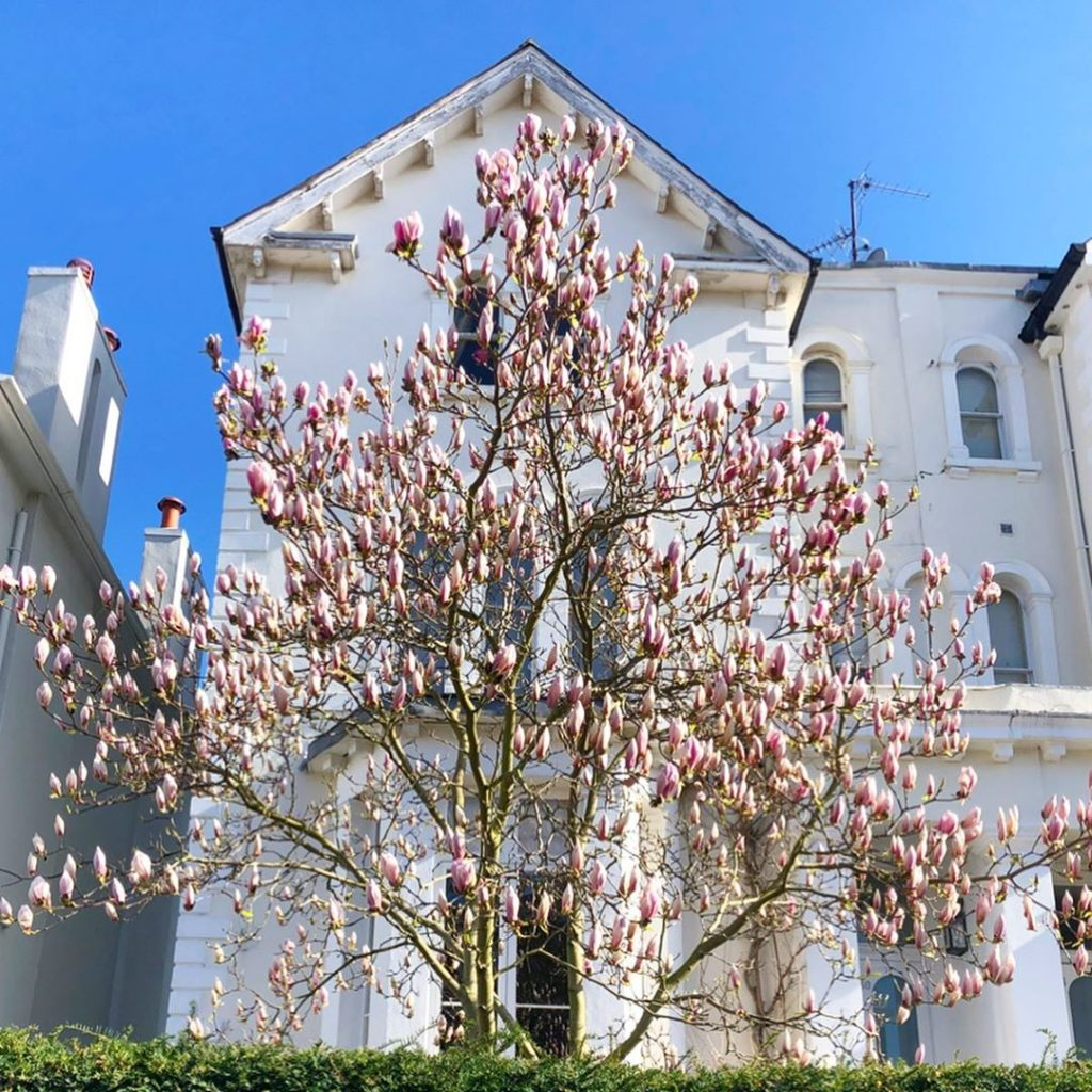 Magnolia madness in a sunny Notting Hill yesterday. So gorgeous! Any particular ...