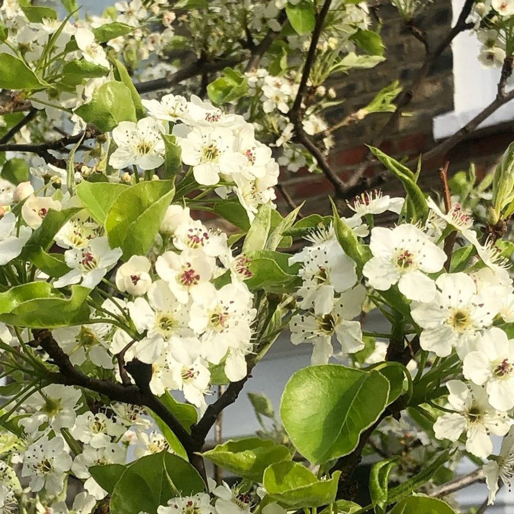It's not just the Magnolias in flower at the moment as there are beautiful Cherr...