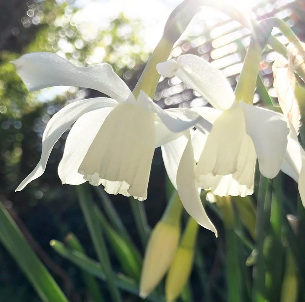 Reasons to be cheerful... #narcissusthalia #spring #sunshine #staystrong #stayho...