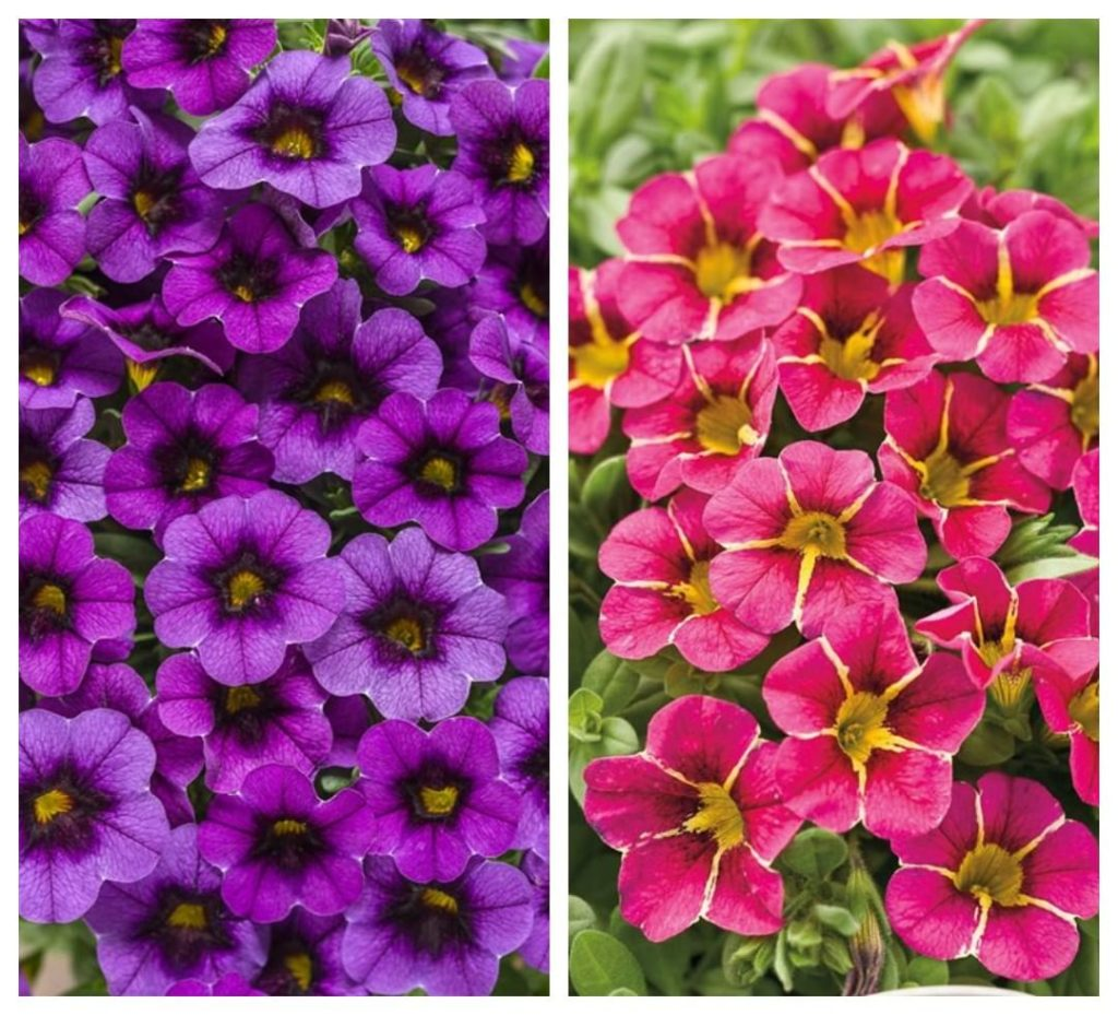 Purple... or Pink Calibrachoa? . These spring flowers look great in a hanging ba...
