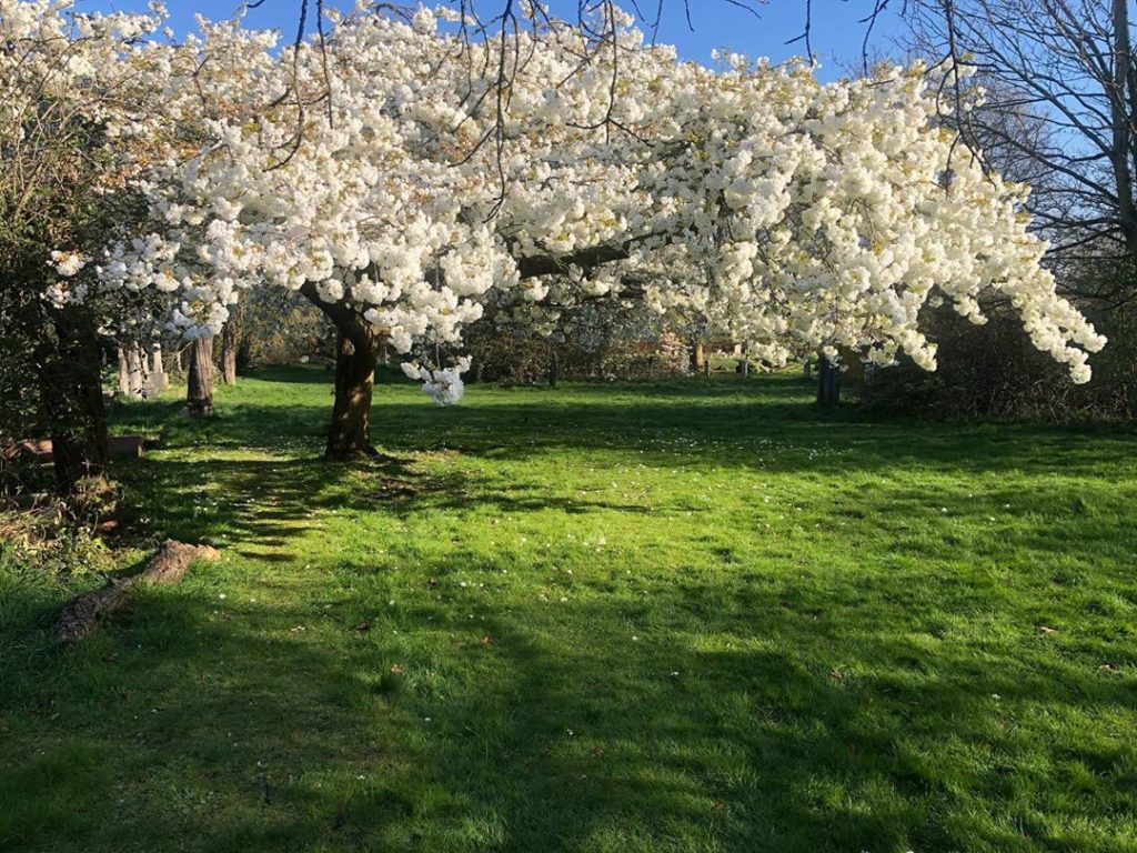 My new favourite tree, the Japanese Cherry tree, absolutely stunning and a great...