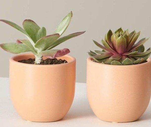 Our potted Kalanchoe Flapjack + Sempervivum Red Beauty= the sunshine-loving Flap...