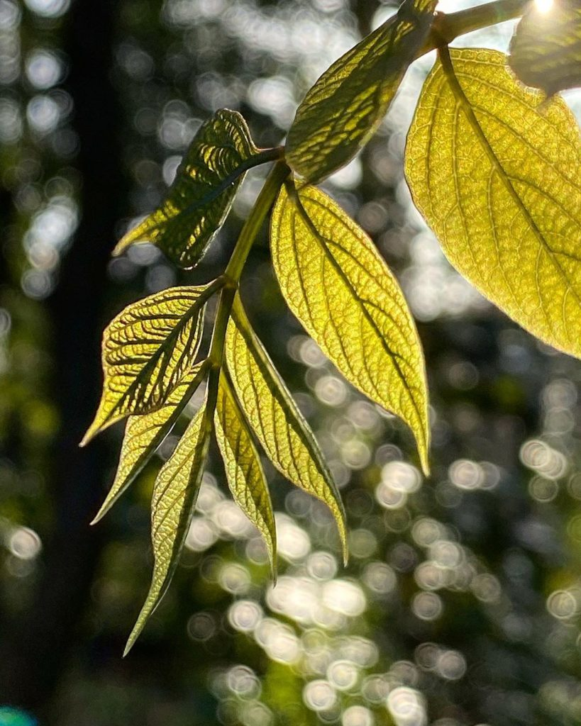 Fabulous new #leaves on Decaisnea fargesii - backlit with the #evening #light it...