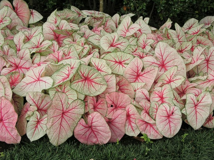 Will you be adding caladiums to your garden this spring? They're a colorful way ...