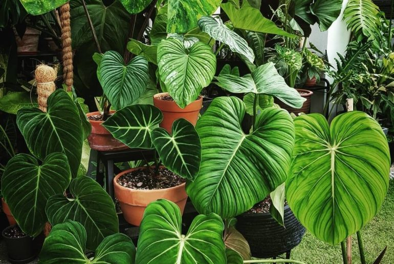 Some Philodendrons to get your day started.  Inspo by @justp_lantit...